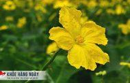 Cách chữa bệnh trĩ bằng hoa mướp